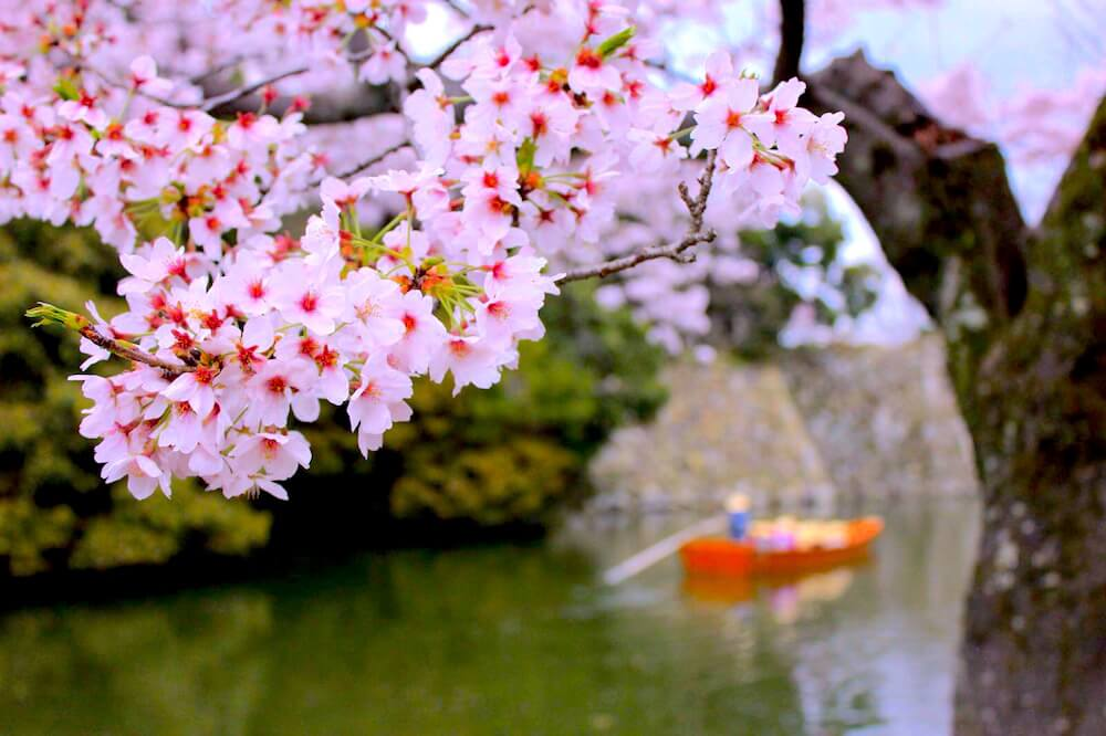 himeji spring sakura photos