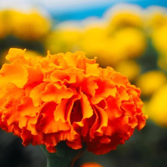 orange flower bokeh yellow