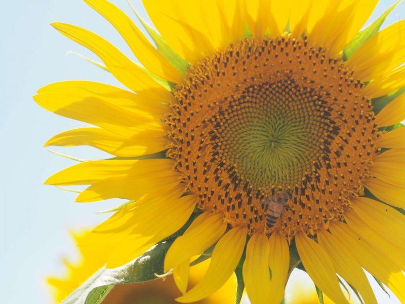 Must-Visit Sunflower Farm near Tokyo, Bees on sunflower