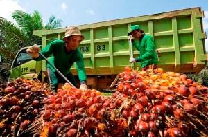 Beberapa pekerja sedang memasukan Kelapa Sawit ke truk/Foto istimewa