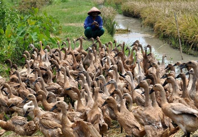 Peternak bebek saat mengawal hewan peliharaannya. Foto via harian indo