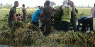 Babinsa Koramil 08/Jogorogo Kodim 0805/Ngawi serda Erwan turun ke sawah membantu petani panen padi/Foto PENDIM 0805