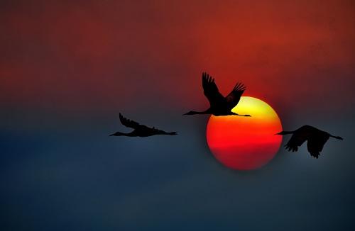 Bangau Terbang Ketika Senja. Ilustrasi/Foto: wallls.com