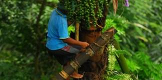 Pohon Aren (Nira)/Foto via myimage/Nusantaranews