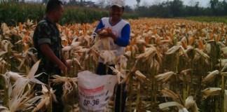 Petani Ponorogo bersama anggota TNI melakukan panen jagung (Foto Nurcholis/Nusantaranews)