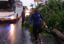 Puting Beliung Tumbangkan Pohon di Purwakarta (Foto Fuljo/Nusantaranews.co)