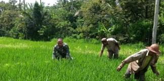 Babinsa bantu petani menyiangi padi. Foto Md 0807/ NusantaraNews