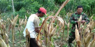 Babinsa DesaTanggunggunung, Serda Ichsanudin, anggota Koramil 0807/18 Tanggunggunung, membantu petani merawat tanaman jagung di ladang Imam Dsn. Tanggunggunung Kec. Tanggunggunun, Jumat(26/1/2018). Foto: Dok. Istimewa/NusantaraNews