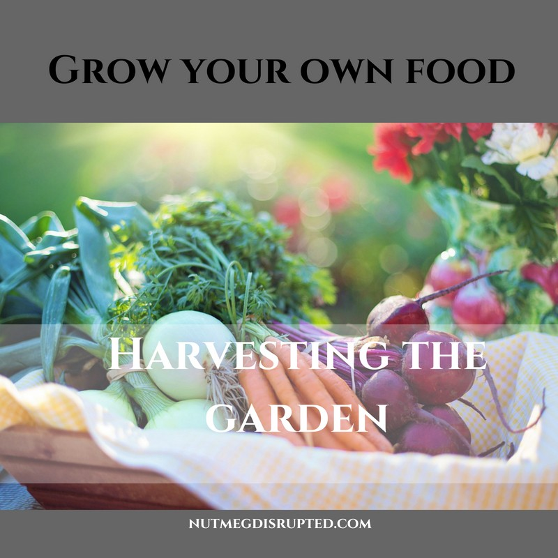 Grow Your Own Food Harvesting The Garden on Nutmeg Disrupted