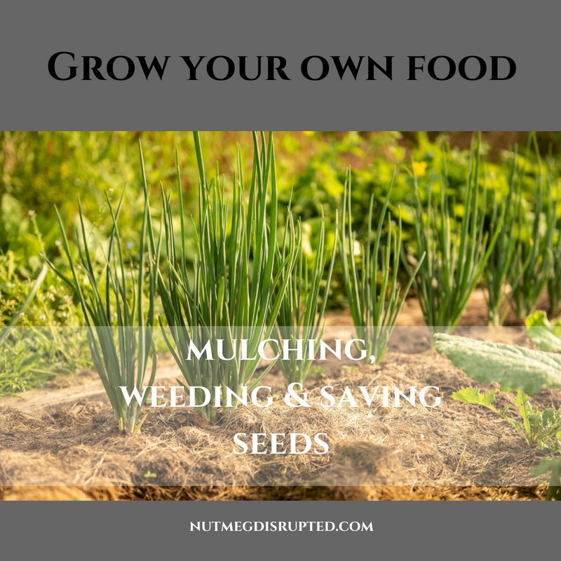 Grow Your Own Food - Mulching, Weeding & Saving Seeds on Nutmeg Disrupted