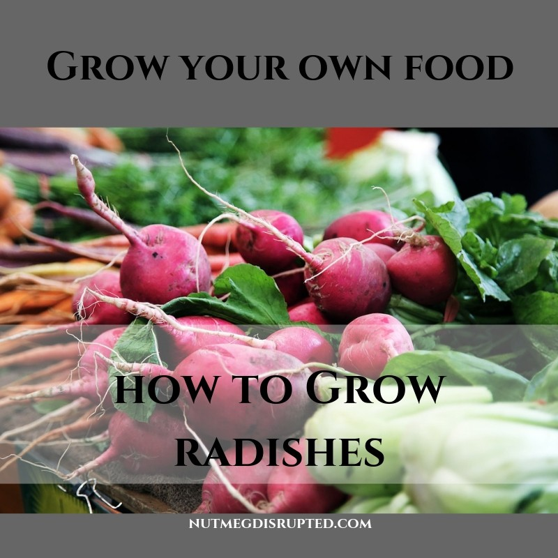 Grow Your Own Food with Nutmeg DIsrupted How to Grow Radishes