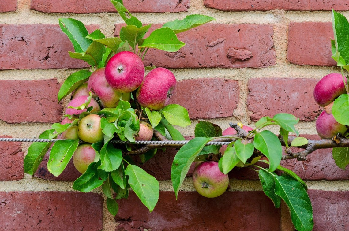 An espaliered apple tree on NUtmeg Disrupted