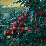 Grow Your Own Food – Pruning and Espaliering fruit trees