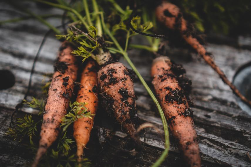 Carrots are part of a cool weather crop on Nutmeg Disrupted