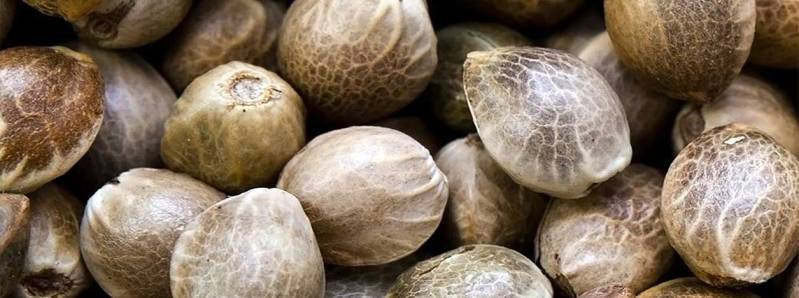 Виды семян каннабиса