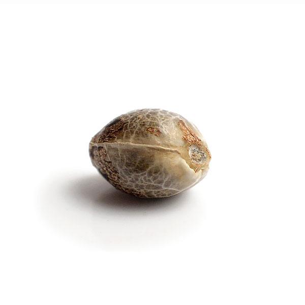 Семена Super Silver Haze-Купить онлайн-Nutra-Seeds.com