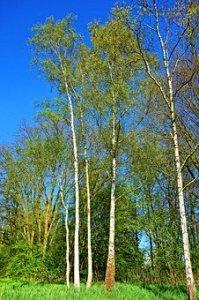 arbre bouleau