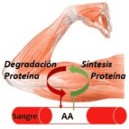 síntesis proteíca bcaa