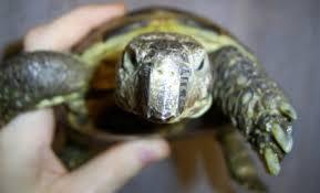 Уходят ли черепахи в спячку. Красноухая черепаха
