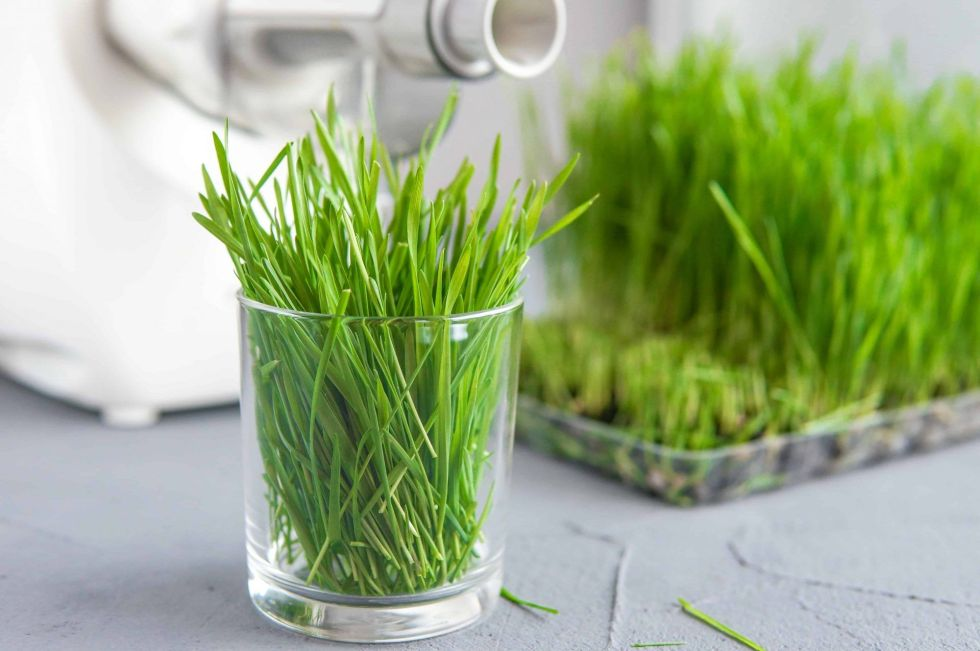 Twin gear juicer juicing wheatgrass