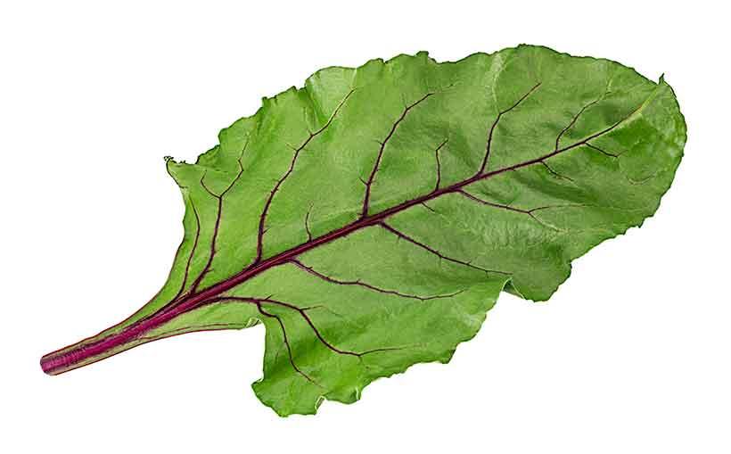 Fresh Green and Purple Beet Green Leaf.