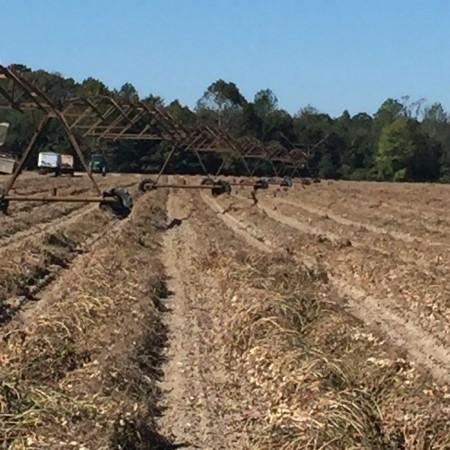 Peanut harvest in Drewyville, VA