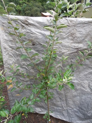 2-year apple tree ready for bareroot sale