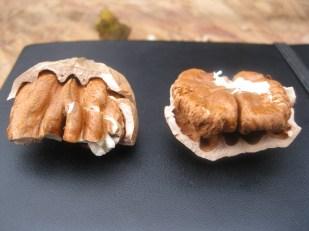 Thin shells, big meats!