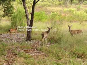 Deer at Dana Peak Park in Texas near Fort Hood