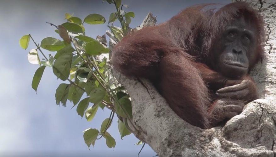 orangután