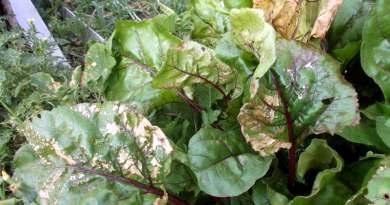 Что растет в огородах под трубой ММСК?