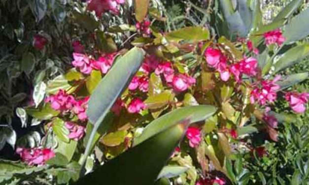 Begonia Corallina-hybriden