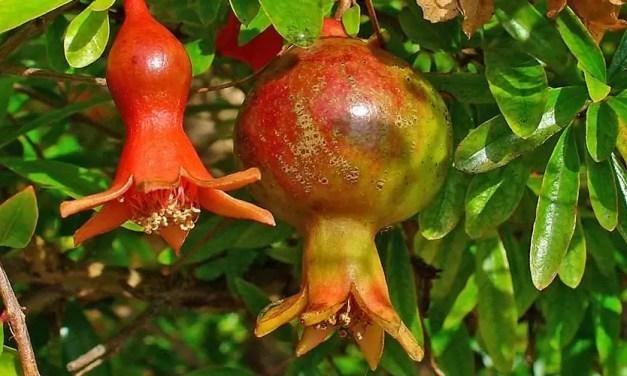 Punica granatum (granaatappel)