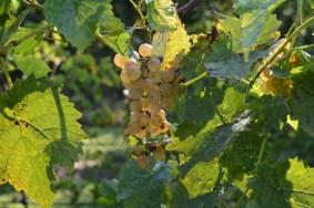 Keels Creek Light Grapes