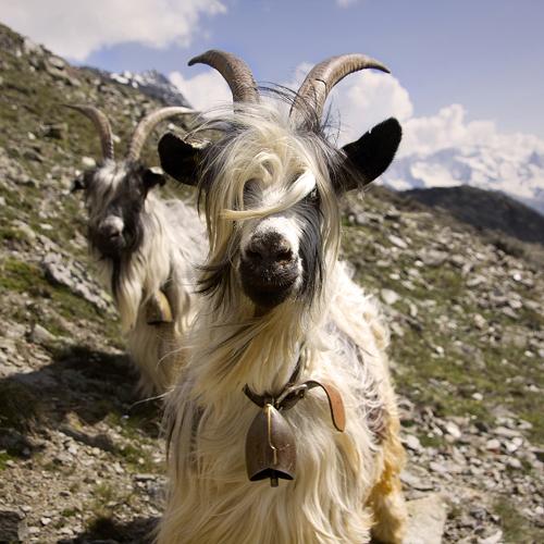 https://i1.wp.com/nwasianweekly.com/wp-content/uploads/2013/32_16/wayne_goat.jpg?resize=500%2C500