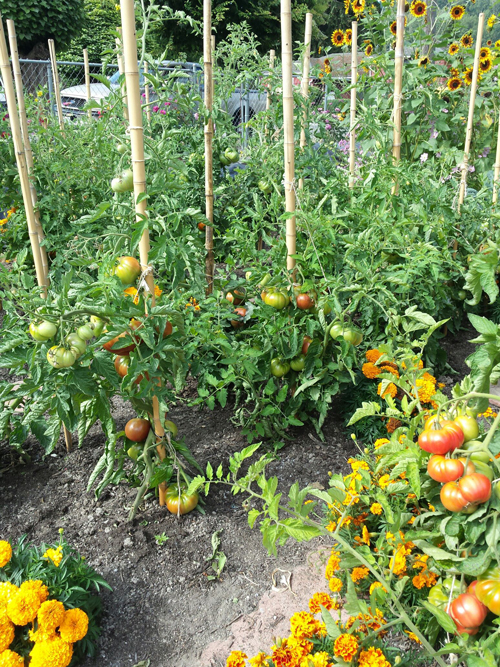 Tomatoes in Phon Thach and Jim Driscoll's garden. (Photo by Jim Driscoll)