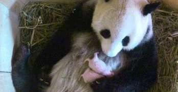 Rare giant panda baby born at Vienna Zoo