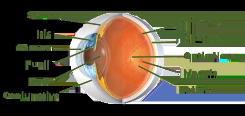 eye anatomy diagram showing eye conditions