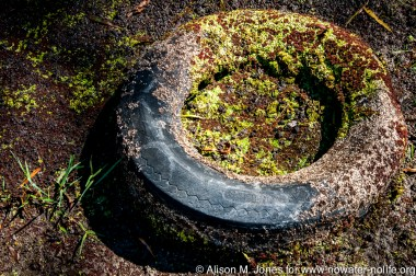 USA:  Louisiana,  Atchafalaya Basin, Stephensville, discarded car tire in swamp with bits of invasive salvinia growing on it