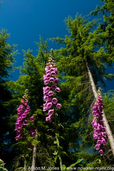 US: Oregon, Columbia River Basin, foxglove