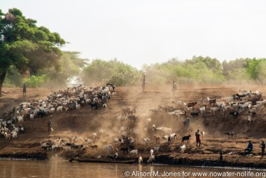 Ethiopia:  Omo Delta at low water stage, herders lead cattle to water