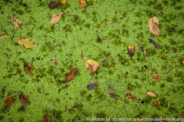 USA:  Louisiana, the Atchafalaya Basin, Bayou Teche/Vermilion River Basin, Lake Martin, Cypress Island Preserve swamp (managed by The Nature Conservancy), duckweed covering a cypress-tupelo swamp