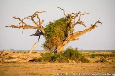 East Africa, Kenya, Amboseli National Park, vine-covered tree at sunset, Thomson's gazelles