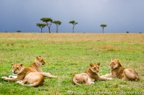 Kenya: Maasai Mara National Reserve, 2 lioness on the left, two males on the right (young and adult)