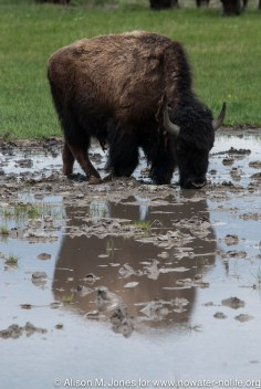 """USA: Wyoming, Mississippi River Basin, Yellowstone National Park, Lamar Valley, bison (""""Bison bison"""") drinking from vernal pool"""
