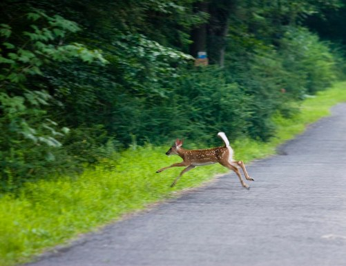 deer crossing road.jpg