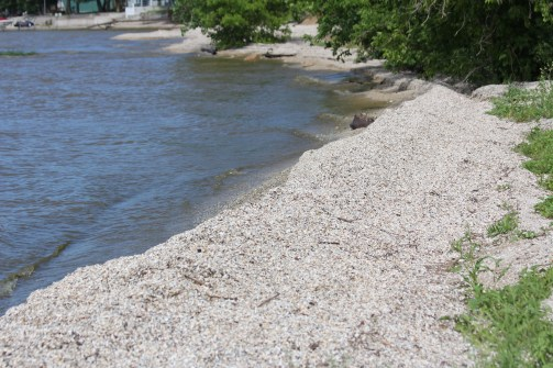 Zebra_mussels_line_shore_on_Green_Bay_at_Red_River_County_Park_in_Kewaunee_County_Wisconsin.jpg