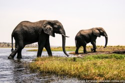 Namibia: Chobe River in the Caprivi Strip, elephant (Loxodonta africana)