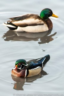 USA: New York, New York City, Manhattan, Central Park, wood duck (Aix sponsa, adult male, breeding) and mallard above, swimming