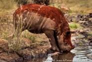 Kenya: Nairobi National Park, 'Scud,' orphaned juvenile black rhinoceros ('Diceros bicornis') under the care of Daphne Sheldrick, drinking water at waterhole after mud bath